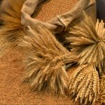 Pšenica sa min. proteinom 13 % se plaćala 19,00 din/kg