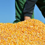 Cena kukuruza porasla, a pšenice i soje pala