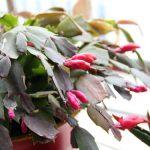 Božićni kaktus nema trnje, ali je bogat prelepim cvetovima