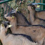 Primeri obroka za pojedine kategorije koza