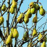 Kamenitost kruške je viroza koja uništava plodove