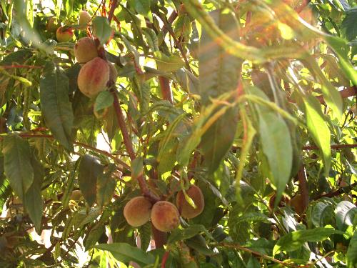 Kovrdžavost lista breskve – zaštita zasada breskve i nektarina
