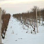 Kako uraditi rezidbu i regenerisati stara, deformisana stabla vinove loze