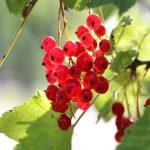 Ribizla: sadni materijal, sadnja, nega