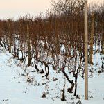 Kako utvrditi da li su okca vinove loze izmrzla