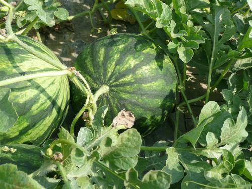 Gajenje lubenice i dinje – rasađivanje, navodnjavanje, polinacija
