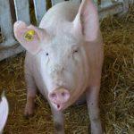 Ishrana svinja: proteinska hraniva