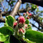 Aktuelna zaštita jabuke