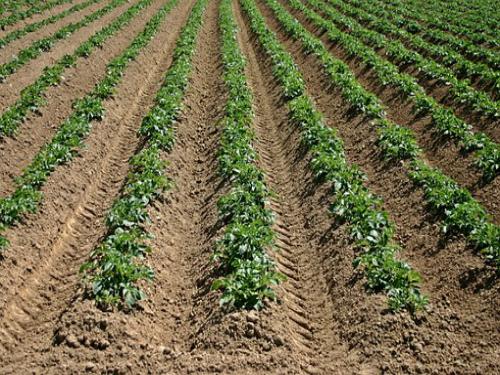 Kako zaštiti krompir od korova, bolesti i štetočina u organskoj proizvodnji?