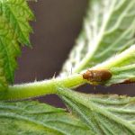 Malinina buba (Byturus tomentosus) opasna štetočina maline