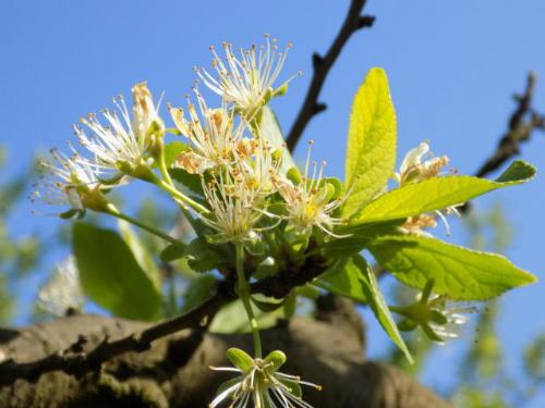 Zaštiti šljive, breskve i nektarine od ose i tripsa