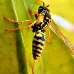 Stršljen – Od stršljenova strepe i pčelari i voćari