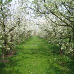 Zaštitimo voćke od kasnih prolećnih mrazeva