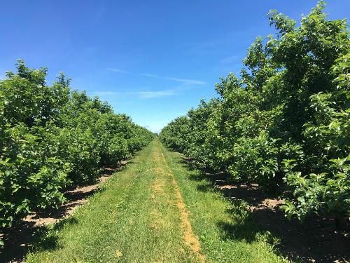 Zaštita zasada jabuke