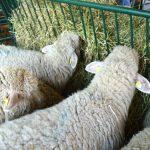 Za ishranu ovaca u zimskom periodu koristiti samo kvalitetnu silažu