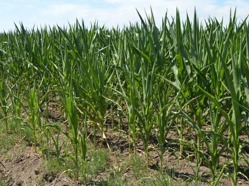 Suša na poljima: Biljke usporavaju rast i razvoj i suše se