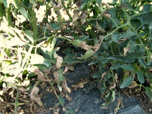 Plamenjača – Zaštita paradajza, krompira i vinove loze