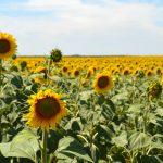 Suncokretova paša važna i za pčele i za pčelare