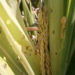 Pregledajmo useve kukuruza i paprike zbog plamenca i sovice