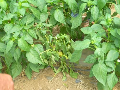 Zeleno uvenuće paprike može dovesti do značajnijeg gubitka roda