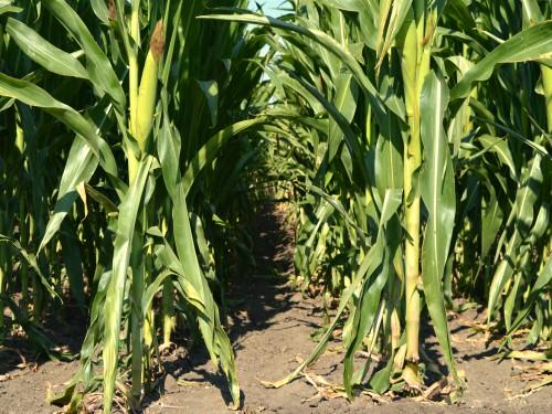 Preporuka za zaštitu useva od druge generacije kukuruznog plamenca