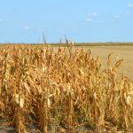 Značajno niži prinos kukuruza, a na nekim njivama u Banatu umanjenje čak i do 80 %