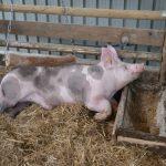 Vakcinacija protiv kuge sprečava razvoj svinjarstva