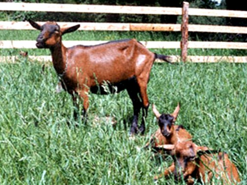 Nemačka srnasta oplemenjena koza za proizvodnju mleka