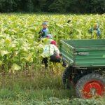 Duvanski otpad neiskorišćeni resurs Republike Srbije