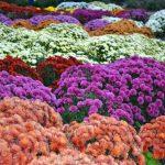 Hrizanteme: Kako da ih sačuvamo da cvetaju i dogodine?
