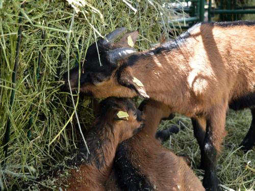 Artritis i encefalitis koza (AEK)- PREPORUKE odgajivačima