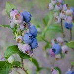 Borovnica – Priprema zemljišta za sadnju