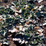 Uljanu repicu prihraniti i zaštiti od štetočina