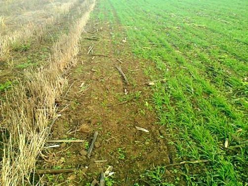 Žitni bauljar – Kako se agrotehnikom boriti protiv ove štetočine?