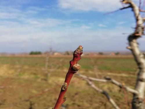 Zaštitimo breskve i nektarine od prouzrokovača kovrdžavosti lista