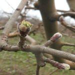 Jabuka u osetljivoj fazi – Potrebno smanjiti infektivni potencijal