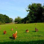 Sistemi držanja živine u organskoj proizvodnji