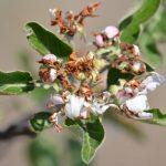 Rutava buba, cvetojed – Saveti kako da odbranimo gajene biljke