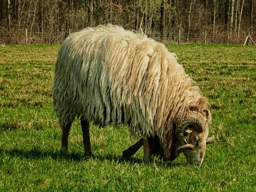 Ishrana ovnova i koliko vode je potrebno ovcama