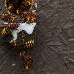 Azijski stršljen preti pčelama i u Velikoj Britaniji
