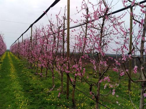Saveti: Sprovesti preventivne mere zaštite u voćnjacima