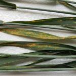 Useve pšenice zaštititi od patogena
