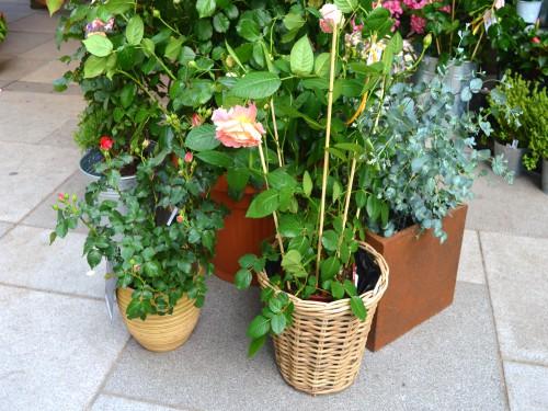 Ruže u saksijama, žardinjerama