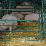 Interventni otkup tovljenika – Spas za farmere!?