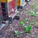 Poziv pčelarima da prijave SPOS-u ovogodišnja trovanja pčela