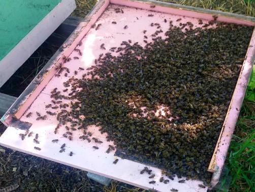 Trovanja pčela treba prijaviti nadležnima i Odboru za zaštitu pčela SPOS-a