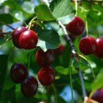Na koji način odrediti kada je pravo vreme za berbu trešnje i višnje?