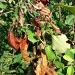 Registrovana bakteriozna plamenjača jabučastog voća – Ukloniti zaražene delove