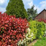 Fotinija zimzeleni, brzorastući grm izuzetnog kolorita