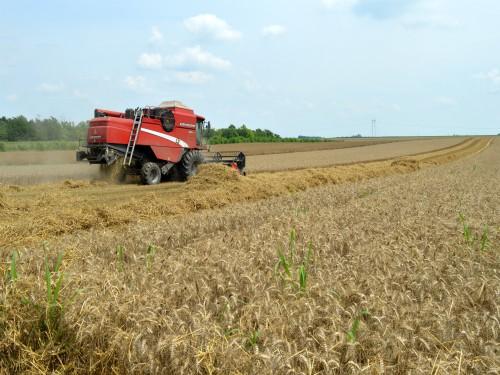 ZSV: Cena pšenice bi trebalo da bude 18 dinara po kilogramu